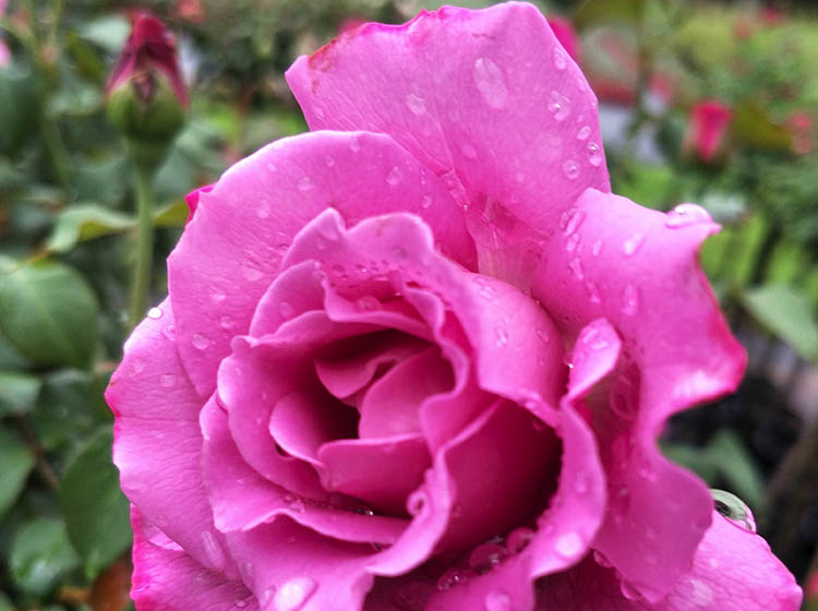 A beautiful dark pink rose.