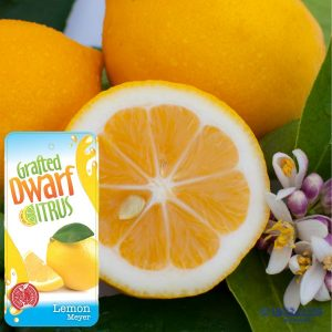 Dwarf Lemon Meyer with Engall's Grafted Dwarf Citrus label