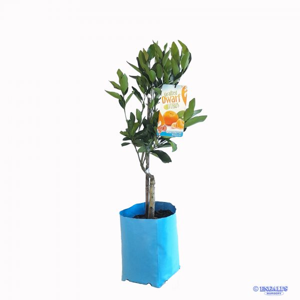 Grafted Dwarf Citrus Mandarin Emperor available at Engall's Nursery online shop