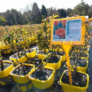 Beautiful Gold Medal roses for sale at Engall's Nursery