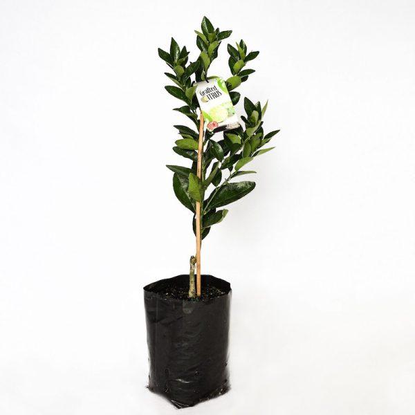 Tahitian Lime