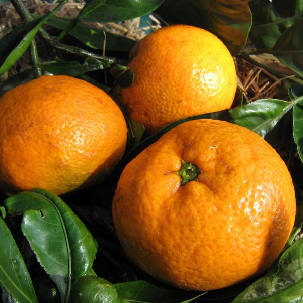 Dwarf Robbie Engall's Seedless Mandarin