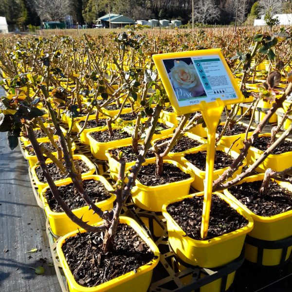 Peace bush roses available at Engall's Nursery