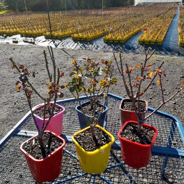 Group of bush roses available at Engall's Nursery